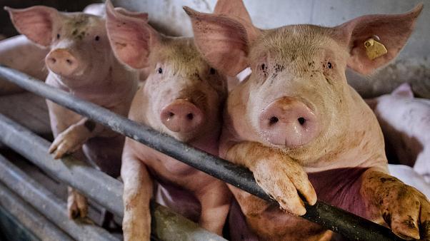 """Alerta en Brasil: Nueva gripe porcina con potencial """"pandémico"""""""