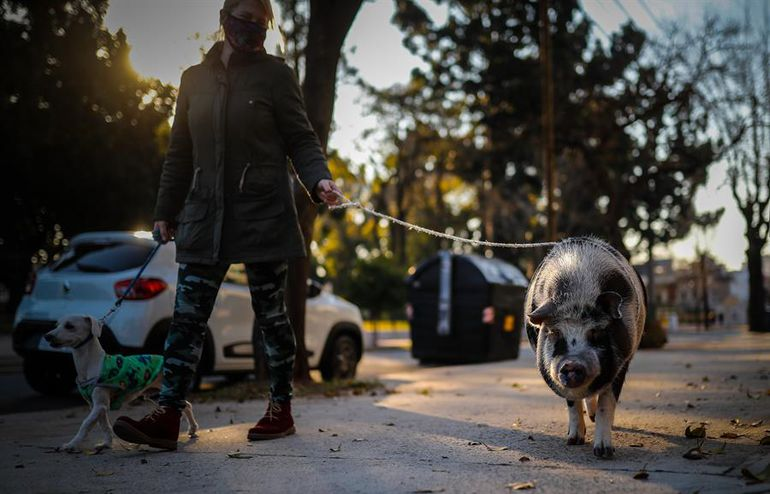 """Tuti, el """"chancho"""" que anima la cuarentena de los vecinos de Buenos Aires"""
